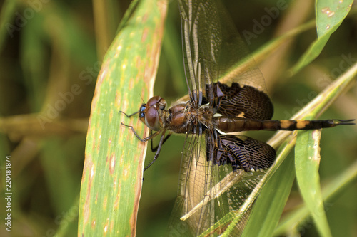 Fotografie, Obraz  Widow Skimmer (Libellula luctuosa) with small black winged insect resting on the dragonfly's back