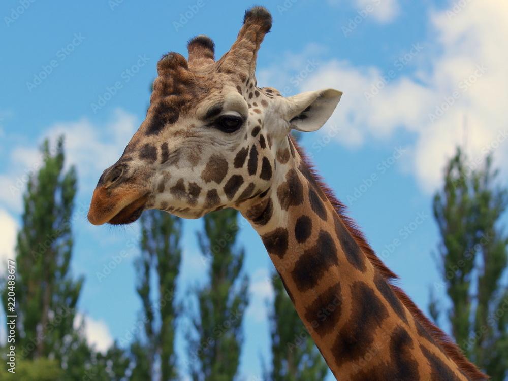 Podejrzliwy wzrok żyrafy, szyja długości wysokości drzew