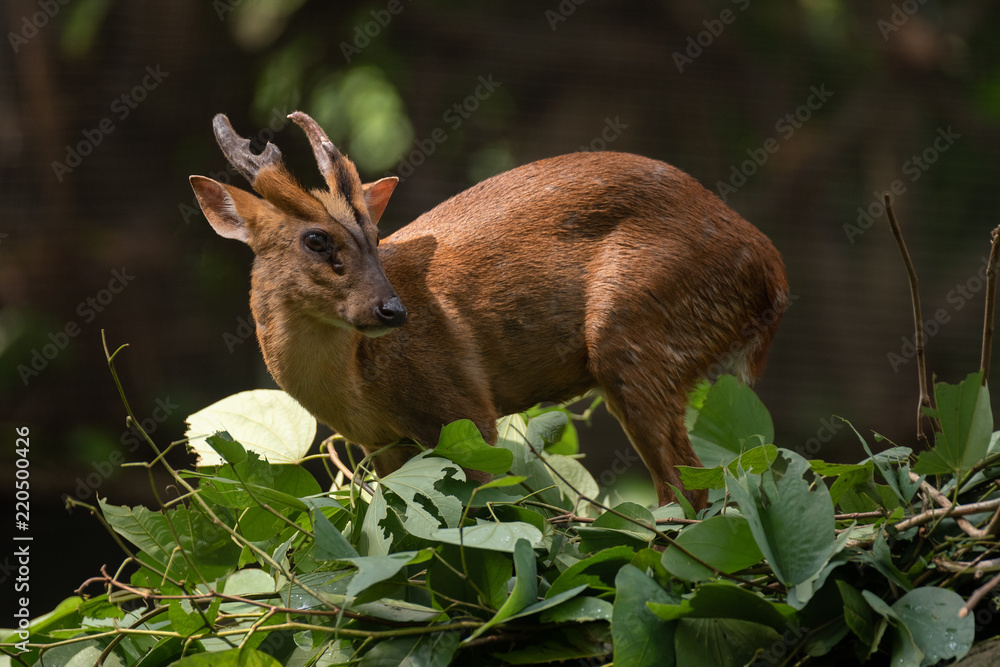 muntjac deer portraits
