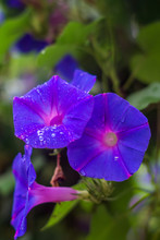 Purple Morning Glories With Dew Drops