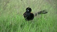 A Male Widowbird In Breeding C...