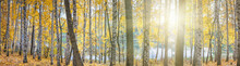 Birch Grove Against The Lake On Sunny Autumn Day, Landscape, Panorama, Banner