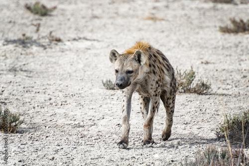 Foto op Aluminium Hyena Hyäne, Etosha National Park, Namibia