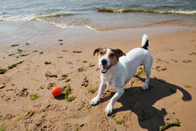 Sweet Dog Play With Orange Ball Toy On The Beach At Sunny Day