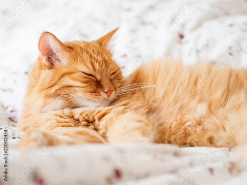 Fototapeta Cute ginger cat lying in bed. Fluffy pet dozing. Cozy home background, morning bedtime. obraz na płótnie