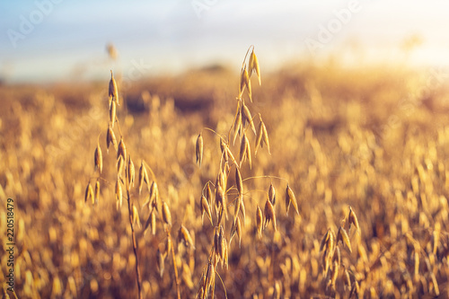 Autocollant pour porte Graine, aromate Oatmeal on the field, illuminated by the dawn sun