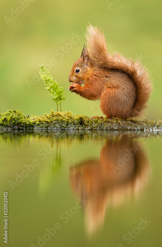 Cuadros en Lienzo  Reflection of a red squirrel