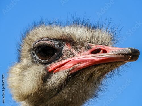 Poster Struisvogel Ostrich Head