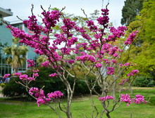 A Purple Tree Of Cercis Canadensis (Judas Tree) With Blooming Pink Flowers Against A Background Of Green Lawn And Buildings Of Urban Infrastructure