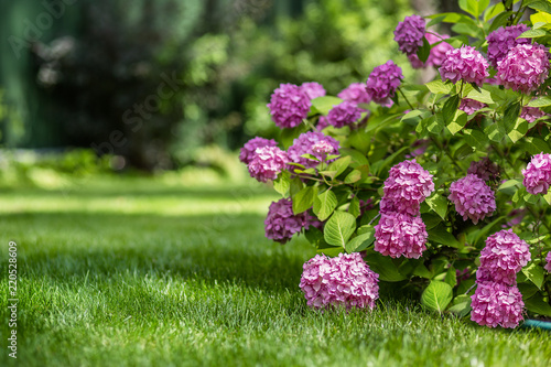 Gardening, flower garden, flowering hydrangea in the garden.