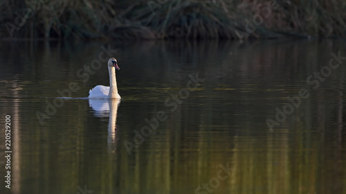 Foto op Aluminium Zwaan Mute Swan - Cygnus olor, Crete