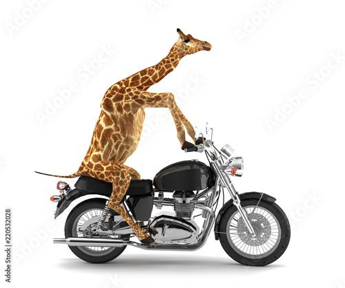Naklejka premium Przycięta żyrafa na motocyklu