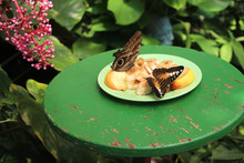 Giant Owl Butterfly Eating Fru...