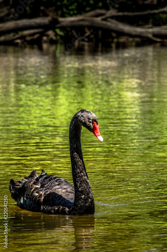 Keuken foto achterwand Zwaan Majestic black swan