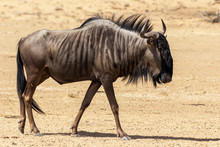 One Blue Wildebeest Walking In...