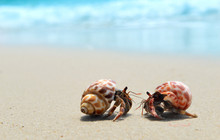 Hermit Crab Walking On The Bea...
