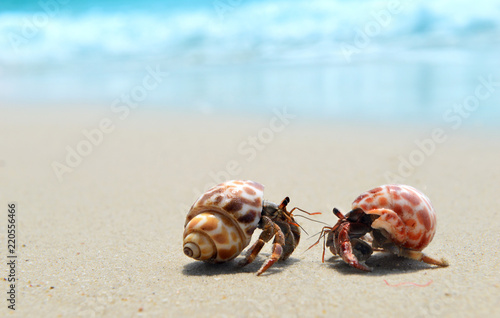 Hermit crab walking on the beach. Canvas Print