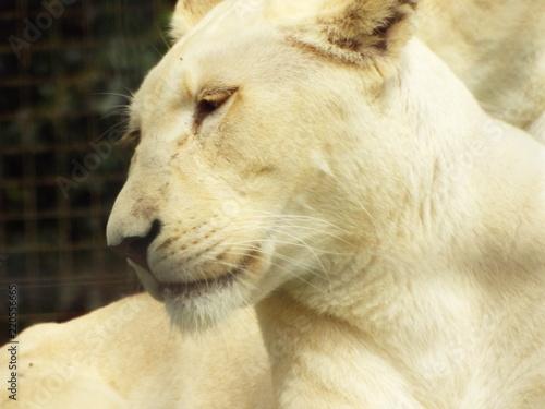 Fototapety, obrazy: lioness portraits