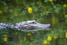 American Alligator In Water With Reflection