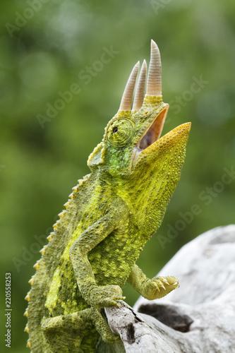 Deurstickers Kameleon Colorful Jackson's Chameleon (Trioceros jacksonii)