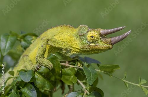 Staande foto Kameleon Colorful Jackson's Chameleon (Trioceros jacksonii)