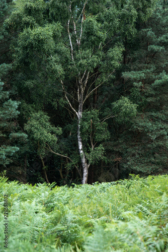 Lovely landscape image of single silver birch tree in green forest setting