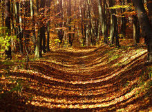 Trail In Autumn Woods Covered With Yellow Leaves In Sunset Light