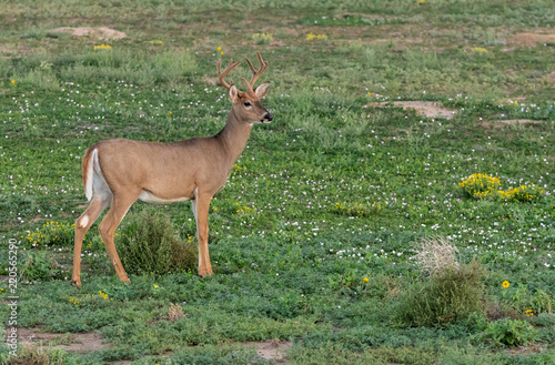 Foto op Canvas Ree A White-tailed Deer Buck Shedding its Summer Coat