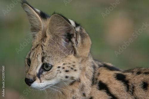 Poster Lynx Serval