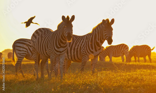 Aluminium Prints Zebra zebra in the national park