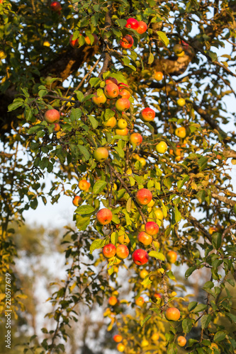 cider apples on a tree