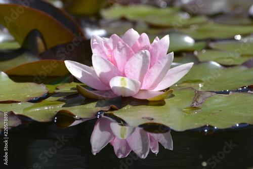 Foto op Canvas Waterlelies Rosa Seerose
