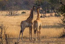 Two Very Young Giraffes Waiting For The Adults To Give The All Clear, Matopos, Zimbabwe