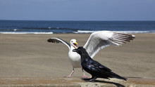 Angry Squawking Seagull Confronting Passive Raven On San Francisco's Ocean Beach.