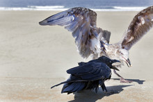 Angry Squawking Confrontation ...