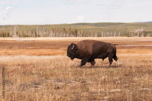 Foto op Canvas Bison Bison - Yellowstone National Park
