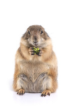 Prairie Dog Holding Green Snack In Hands And Enjoy Eating.