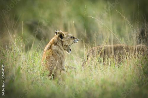 Fotografie, Obraz  Lion cub yawning in Africa
