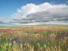 Meadow Of Wheat And Flowers
