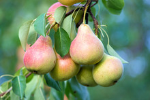 Ripe Pears On The Branches Of A Pear Tree. In The Garden.