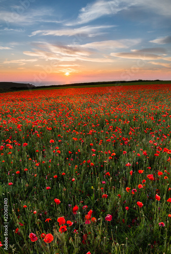 Fototapety, obrazy: Sunset over Poppies,Polly Joke, West Pentire, Cornwall