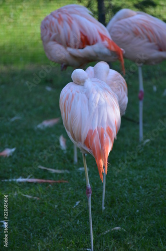 Foto op Aluminium Flamingo fenicottero rosa