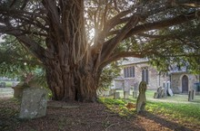 Old Yew Tree At Broadwell Village, Cotswolds, Gloucestershire, England