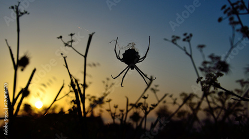 Backlit spider amidst the grasses during sunrise with vivid sky background