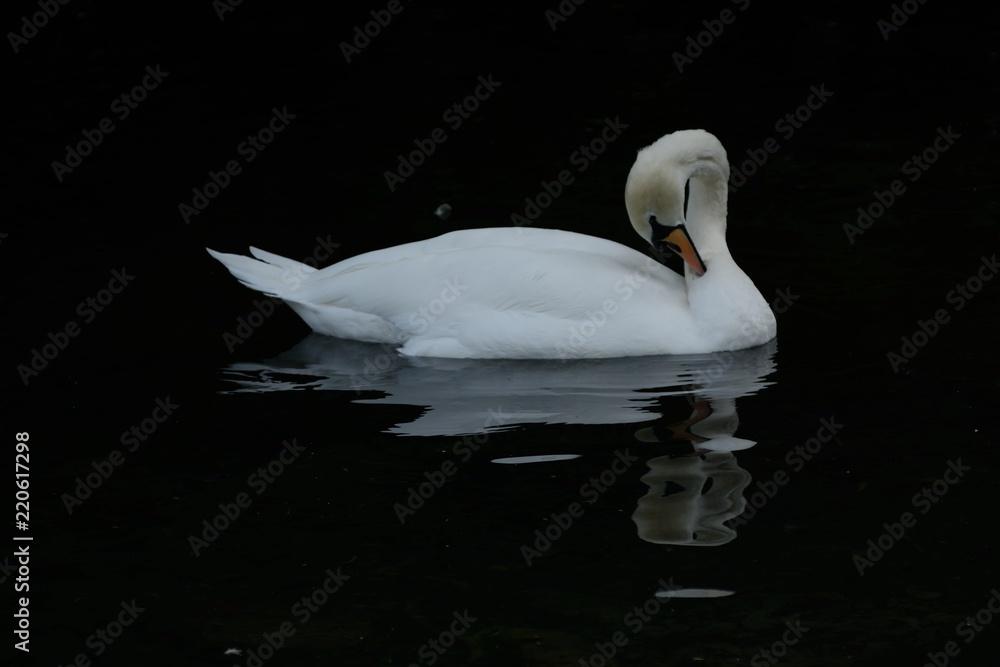 Beautiful white swan Cygnus, preening its' feathers on a park lake.