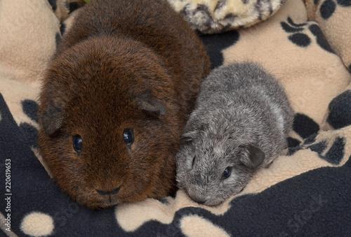 Zwei Rex Meerschweinchen Gold Agouti Und Baby Silber Agouti