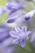 Blue Flowers Of An Agapanthus Plant