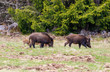Wild boars looking for something to eat on a meadow at the forest edge