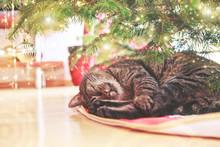 Gray Cat Sleeps Under The Christmas Tree.