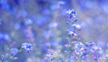 Little Blue Flowers (Myosotis) On A Spring Field.selective Focus
